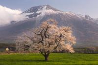 岩手県 上坊牧野の一本桜