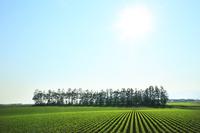 北海道 上士幌町のビート畑