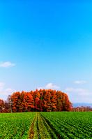 北海道 緑のビート畑と紅葉鮮やかな唐松