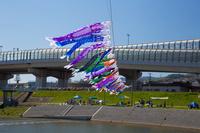 鯉のぼり 豬名川 兵庫県 川西市
