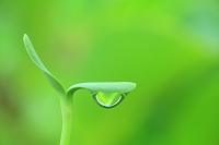 宮城県 ヒマワリの双葉と水滴 発芽