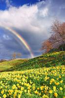 長野県 上田市 信州国際音楽村のスイセンと桜と木立と虹