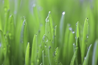 若草と水滴