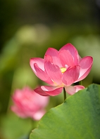 緑葉を背にした蓮の花