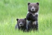 アメリカ アラスカ レイク・クラーク国立公園 子熊2匹