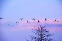 北海道 焼雲の空とタンチョウの飛翔