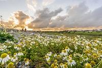 アイルランド コノート地方 ゴールウェイ デージーの花