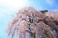 長野県 吉瀬の枝垂れ桜