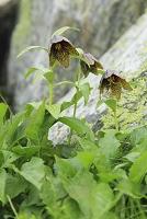 山梨県 北岳 クロユリの花
