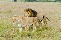ケニア マサイマラ国立保護区