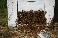 養蜂箱のミツバチの出入り口