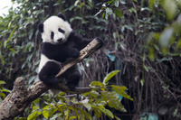ジャイアントパンダ(6ヶ月)