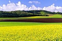 北海道 パレットの丘のヒマワリ畑