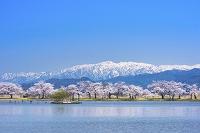 新潟県 瓢湖の桜