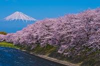 静岡県 富士山と龍巌淵の桜