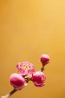梅 春の花