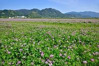 福岡県筑前町 レンゲ畑