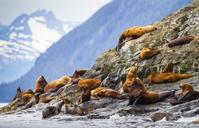 アメリカ アラスカ トドの群れ