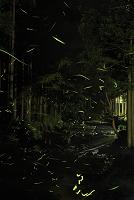 京都府 清流を飛び交うゲンジボタルの光跡