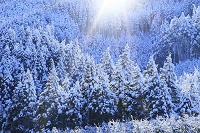 京都府 周山街道 雪景色の北山杉
