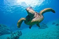ハワイ アオウミガメ