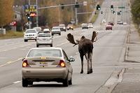 アメリカ 道路に侵入したヘラジカと車