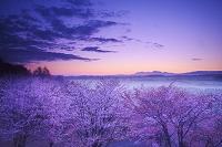 北海道 深山峠の桜と大雪山の朝