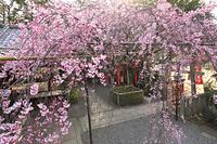 京都府 水火天満宮 紅枝垂れ桜と六玉稲荷大明神