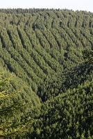 長野県 入笠山 カラマツの植林