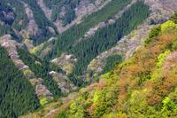 奈良県 ヤマザクラ咲く萌黄の季節 ナメゴ谷