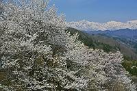 長野県 中条の桜と北アルプス