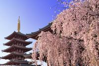 東京都 浅草寺のシダレザクラ