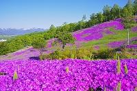 北海道 芝ざくら滝上公園の芝桜
