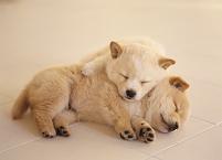 寄り添って眠る2匹の子犬