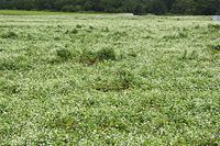 北海道 倒れたソバ畑
