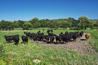 北海道 ウシ 黒毛和牛