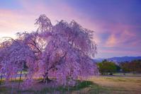 長野県 上田市 前山寺 栄尚しだれ桜と夕焼け