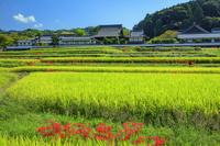 奈良県 ヒガンバナ咲く実りの稲田と橘寺