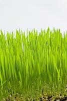 大麦の若芽