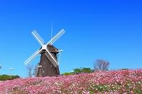 大阪府 花博記念公園鶴見緑地 風車の丘のコスモス