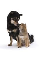 見詰め合う親子の柴犬