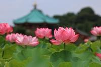 東京都 上野公園 不忍池の蓮の花