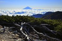 山梨県 北岳から間ノ岳への稜線より望む雲海の富士山とハイマツ