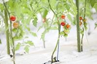 熊本県 ミニトマト