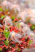 長野県 乗鞍高原 チングルマの綿毛