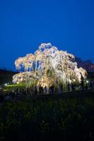 福島県 ライトアップされた三春の滝桜