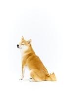 目を細める柴犬
