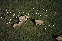 ケニア アフリカゾウとアマサギ