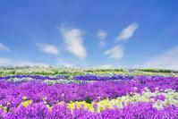 長野県 松本市 信州花フェスタの花畑とすじ雲