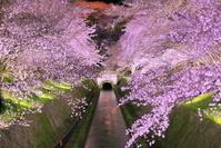 滋賀県 桜の咲くびわ湖疏水